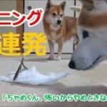 柴犬まめとちゃめのハプニング動画10連発