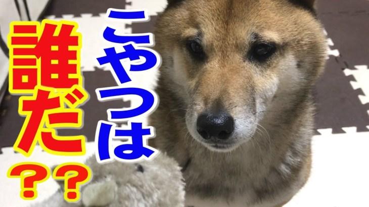 柴犬リキとリコ おもちゃのネズミ君と仲良く♪でもハプニングが・・リキ編【かわいい・おもしろ】Shiba iu Riki and Riko/Toy rat♥
