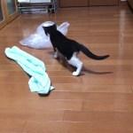 タオルをくわえて何処かに消える子猫がかわいい