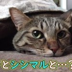 コタツで寛ぐ猫シシマル、と…?(面白い&可愛い猫)