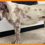 【感動】毛が抜け落ちるまで病気を放置された犬。献身的な治療によって、2か月後には見違える姿に!【世界が感動!涙と感動エピソード】