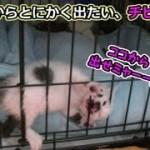 子猫フク姫、未公開映像【No.8】(面白い&可愛い猫)