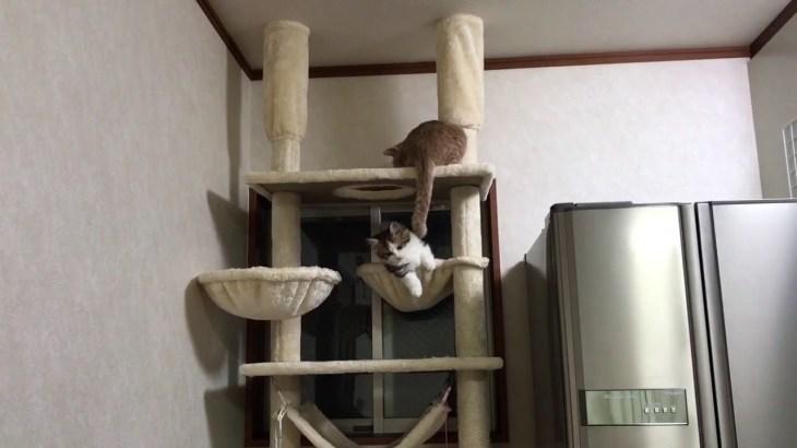 短い足で遊ぶ子猫がかわいい