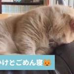 ねむいんにゃ〜🐱 おねむな猫ちゃんのかわいいごめん寝💕 【PECO TV】
