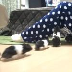 懐きすぎて困る!ずっとついてくるハムスター!おもしろ可愛い癒しハムスターFunny hamster that comes with the owner forever!