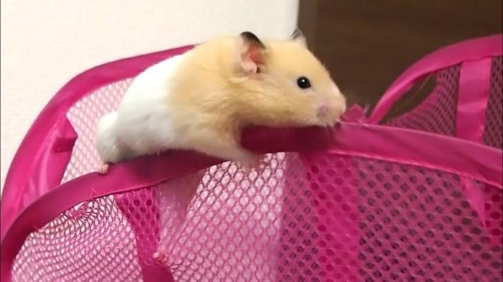 バランス感覚すごい!落ちそうで落ちないハムスター!おもしろ可愛い癒しハムスターFunny hamster that does not fall off like falling!