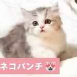 あれ❓ 当たらにゃい💦 ネコパンチが上手にできない可愛い子猫🐱💕 【PECO TV】