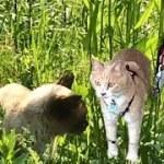 可愛いのら猫&お父ちゃんが登場🎵【猫日記こむぎ&だいず】2018 04 23