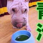【飲むの?】うちのブサカワ犬に青汁あげたらビックリする展開に!!!