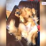 バカおもしろいゴールデンレトリバー犬のハプニング・笑わないようにしてください