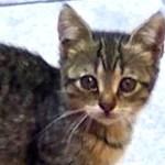 成猫に威嚇して頑張る可愛い子猫 子ネコ歩き 猫いっぱい!w