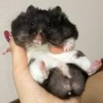 クッキーで頬袋がパンパンになった結果…?おもしろ可愛い癒しハムスターWhat happens to a hamster full of cheek pouches with cookies?
