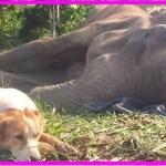 【感動】人間に酷使されたゾウの最期に寄り添ったのは、人間に捨てられ保護区にやってきた1匹の犬だった…【世界が感動!涙と感動エピソード】