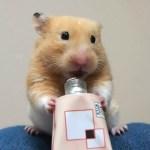 プロテインを飲む姿が必死すぎて…?おもしろ可愛い癒しハムスターIt is too desperate for a Funny hamster to drink protein!