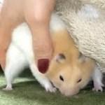 見えない敵と戦うハムスター!おもしろ可愛い癒しハムスターFunny Hamster fighting invisible enemies!