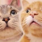 猫ズのアップが可愛い過ぎる!鳴き声と丸顔が可愛い猫ズ【猫 かわいい】