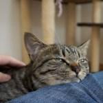 飼い主の足の上でおねんねな猫がカワイイ!【すずとコテツ】