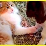 【感動】引き取られた農家でヤギの出産を手伝った猫!その後、子ヤギたちのベビーシッターとなる!!【世界が感動!涙と感動エピソード】