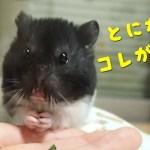 これだけはその場で食べるくらい好き!おもしろ可愛い癒しハムスターFunny Hamster likes this!