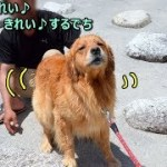 なんて面白い行動♪可愛い💛ゴールデンレトリバー蘭丸 What a funny action ♪ cute 💛 Golden Retriever Ranmaru