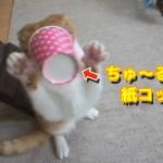 猫に紙コップ(ちゅ〜る入り)をあげたら面白い事になった!笑【すずとコテツ】