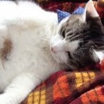 【のらが怒っているときの声と猫パンチが面白い】It is cute that the cat is angry with the owner.