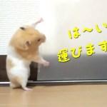 中身人間?撤去作業が神業のハムスター!おもしろ可愛い癒しハムスターHuman? Removal work is a supernatural Funny hamster! ASMR