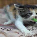 唸るイカ耳子猫がかわいい! 三毛子猫ですが何か?その6