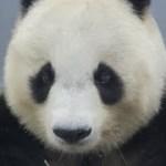 熱中症に気をつけて!! 夏もかわいいタンタンもガッチャンも、あひるも♪ 2018年7月22日 ジャイアントパンダ タンタン 王子動物園