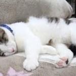 【のらが眠りにつくまで 寝姿が可愛いです】Until the cat sleeps