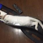 驚くほど自由な猫ちゃんが可愛くてじわじわ面白いw~A surprisingly free cat is cute and funny.
