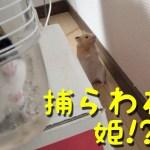 【ハムスターおもしろ可愛い癒し】多頭飼い成功?捕らわれた姫を救い出すハムスター王子!Hamster seem to be lovers!