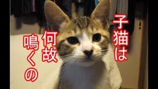 子猫が鳴く理由とは?ーかわいい子猫の秘密13
