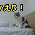 久しぶりの飼い主に興奮?の子猫【猫】【かわいい】