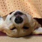 とっても可愛いお顔で寝てるコーギー陽菜ちゃん(Hina-chan)