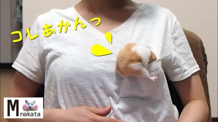 ポケットInハムスターにチャレンジした結果がまさかの…?おもしろ可愛い癒しハムスターThe result of challenging Pocket In Funny hamster?