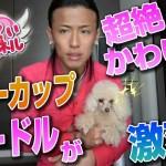 超絶かわいいティーカッププードルが激変!!  【第22回】ぷりてぃチャンネル