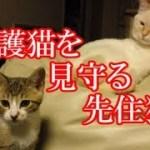 かわいい子猫が突然お家にやってきた-その時、先住猫達は・・・?!4週間目3-kitten came to our house 23