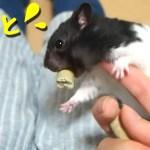 【ハムスター】いたずらを仕掛けてみた結果…?おもしろ可愛い癒しWhat is the result of trying a mischief on a hamster?