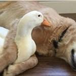 「絶対笑う」最高におもしろ犬,猫,動物のハプニング, 失敗画像集 #29