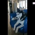最高におもしろハスキー, ゴールデンレトリバー犬のハプニング, 失敗動画