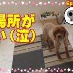 いじける顔が可愛い犬・キャバリア・アンちゃん404 Cavalier King Charles Spaniel