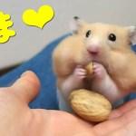 【ハムスター】ピスタチオをあげるとやばいっ!おもしろ可愛い癒しPistachio should be given to the hamster!