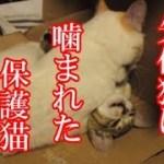 かわいい子猫が突然お家にやってきた-その時、先住猫達は・・・?!5週間目6-kitten came to our house 36