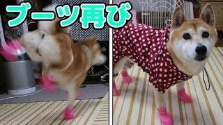 柴犬小春 【『可愛い』頂きました】雨なのでブーツで外に飛び出そう