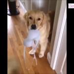 「おもしろ犬」 かわいいゴールデンレトリバーの最高におもしろいハプニング, 失敗動画集