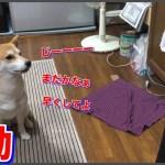 ご飯まだなの?という圧力がすご可愛い柴犬ハナ –Shiba waits for dinner.–