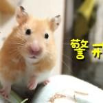 【ハムスター】リアクション可愛すぎ!危険を感じたハムスター!おもしろ可愛い癒し The hamster reaction which felt danger is too cute!