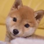 柴犬子犬*キュンキュンに可愛い癒し画像と動画集  Shiba inu puppy , So cute!!