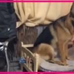 【感動】飼い主を見守る犬…ソファで寝ていた飼い主が寝返りをうつと、その犬は素晴らしい気遣いを見せる!!【世界が感動!涙と感動エピソード】